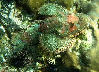 A tasseled scorpionfish rests in a cluster of sea urchins.