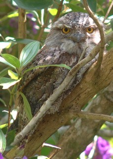 A Tawny Frogmouth, surprisingly alert in daytime