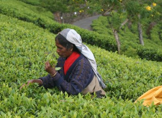 Woman picking tea in the Sri Lanka highlands
