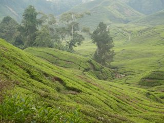 Boh Tea Plantation in the Cameron Highlands