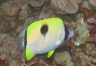 The teardrop butterflyfish is distinctive!