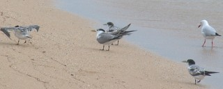 Crested terns and a silver gull