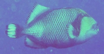 A Titan Triggerfish, known to attack divers when protecting her nest.