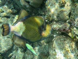 Titan triggerfish feeds on coral, Rubiah Island, Weh, Indonesia