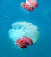 Venemous White and Tomato jellyfish