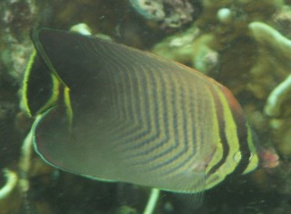 The Triangular Butterflyfish, Thailand