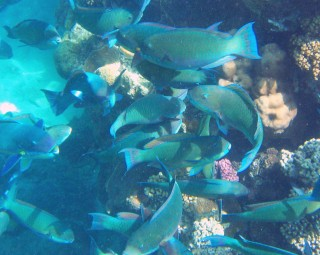 A harem of Tricolor Parrotfish