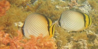 Vagabond Butterfly fishes