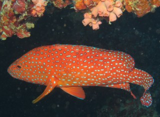 A Vermilion Rock Cod (aka Coral Grouper) cruises for food on the British Loyalty Wreck.