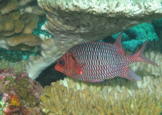 Violet Squirrelfish under plate coral