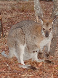 A red-necked wallaby with joey in Grampians NP.