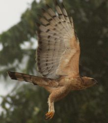 Wallace's Hawk Eagle, juvenile, in flight. Sabah, Borneo