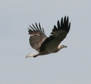 White Bellied Sea Eagle in flight 2d77166751