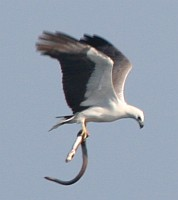 A White Bellied Sea Eagle takes a sea snake