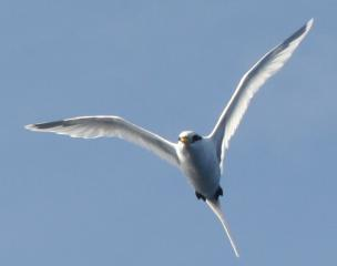 White-tailed Tropicbird at sea. By Amanda
