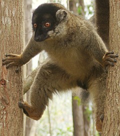 A female White Fronted Brown Lemur