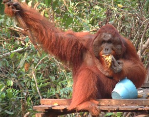 A mature male orangutan on the feeding platform