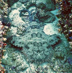 Weirdly beautiful tasseled wobbegong shark
