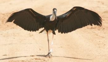 A Woolly Necked Stork displaying in Yala NP