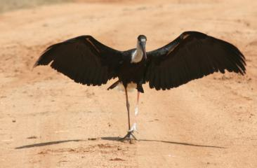 Woolly Necked Stork, with wings spread