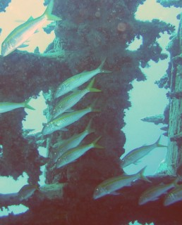Yellowfin Goatfish school around the cargo ship wreck.