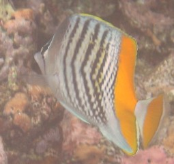 The yellowback butterflyfish is a bright fish on the Tongan reefs