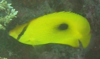 In Chagos, Indian Ocean, this is known as the Zanzibar Butterflyfish