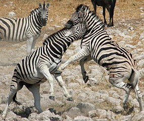 Male zebras fighting for dominance