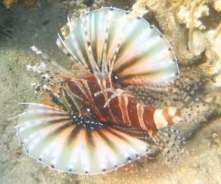 Lovely, but venomous Zebra Lionfish in Indonesia