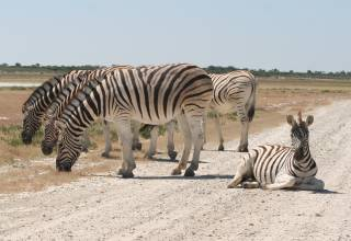 Sharing the road with zebra, in Etosha Park Namibia