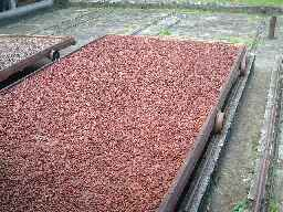 Outside drying racks for cocoa beans