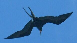 Magnificent Frigate birds are amazing flyers