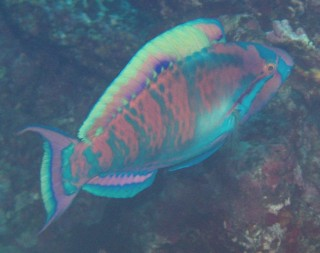 A Highfin Parrotfish is not a common sight.